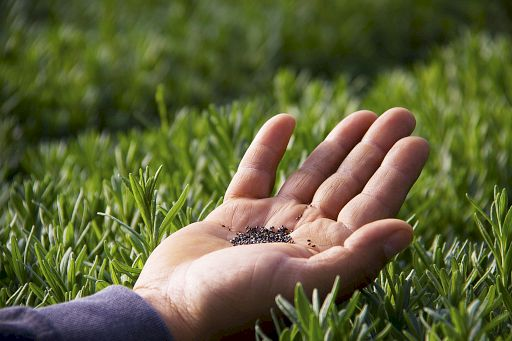 seed-lavender-seeds_8875662275_o_512